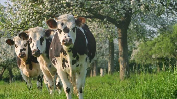 trois vaches regardent ton projet avec intérêt