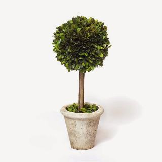 preserved topiary in pot