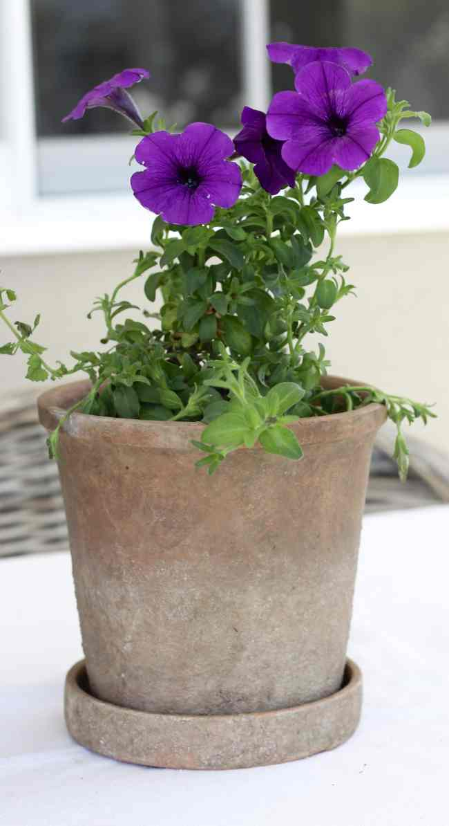 purple-petunia-backyard-refresh
