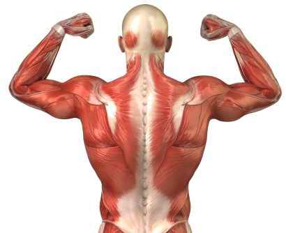 muscles-anatomy-back