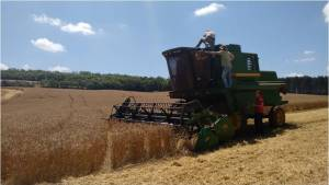 coleta de trigo com glifosato seabi