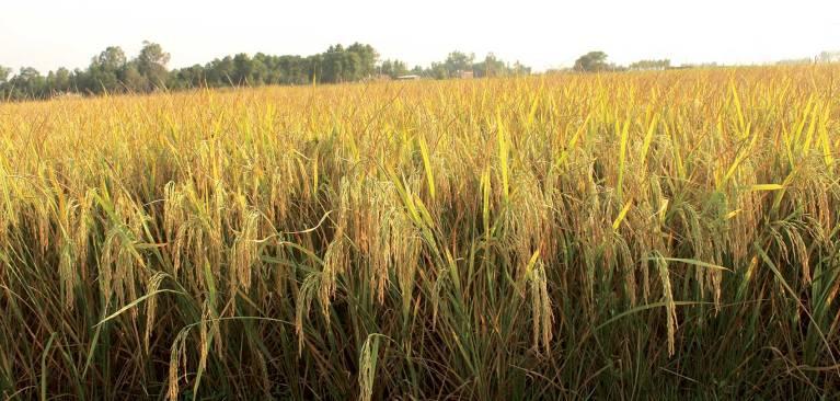 सरकारद्वारा धानको मूल्य निर्धारण, किसान खुसी