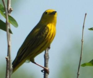 Paruline jaune sur une branche (floue). Image © Charles Martel 2012