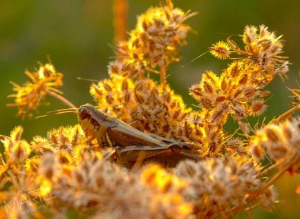 Sauterelle morte, parmi de fleurs, parc de la Visitation
