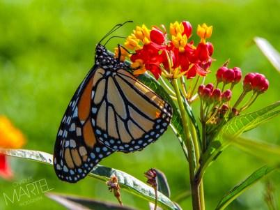 papillon monarque sur fleurs rouges, jardin botanique - Montréal