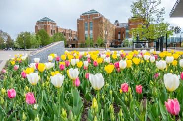 banc de tulipes jaunes blanches roses près de la billetterie, printemps, jardin botanique, Montréal, Qc