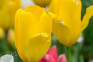 banc de tulipes jaunes blanches roses près des fontaines de l'entrèe, printemps, jardin botanique, Montréal, Qc