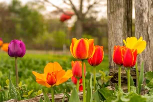 printemps, jardin botanique, Montréal, Qc