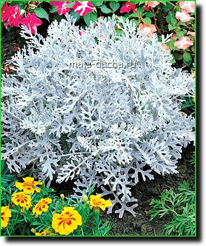 Цинерария серебряная пыль выращивание из семян посадка в