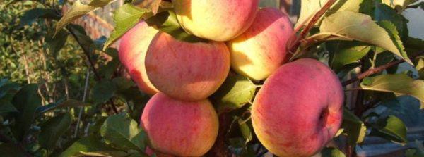Сорт яблони Услада история описание посадка и уход фото