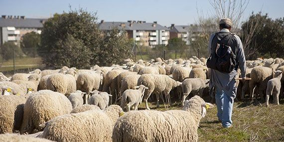 """Las ovejas de la trashumancia piden """"asilo"""" en Majadahonda a la burocracia autonómica"""