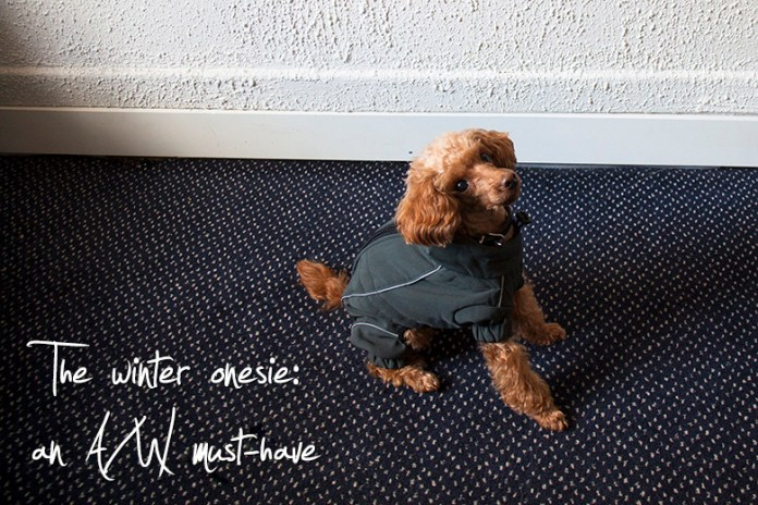 Fluffy apricot-colored toy poodle wearing an army green winter onesie
