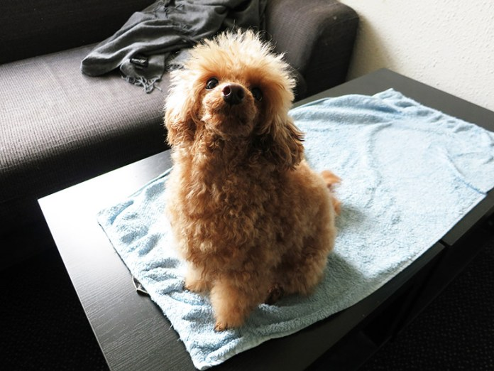 Extremely fluffy toy poodle sitting on a towel