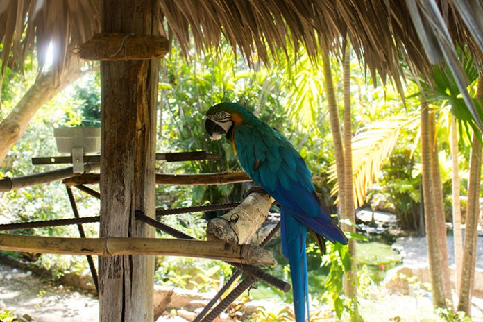 Blue parrot standing on a perch at Adastra Gardens Zoo and Conservation Center.