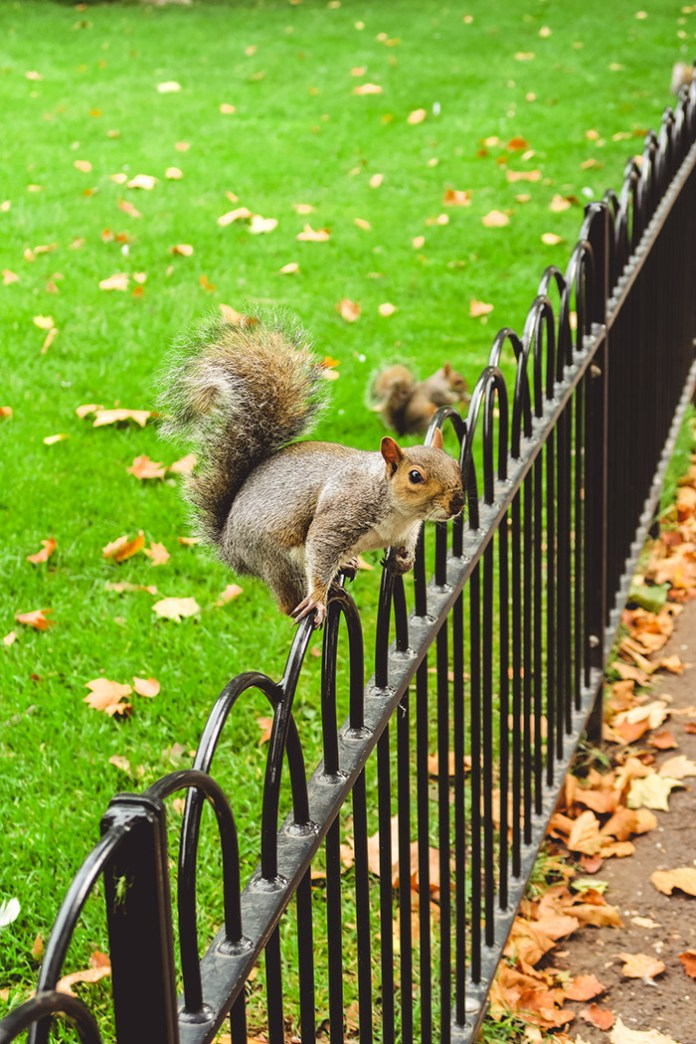 Squirrel balancing on a park fence