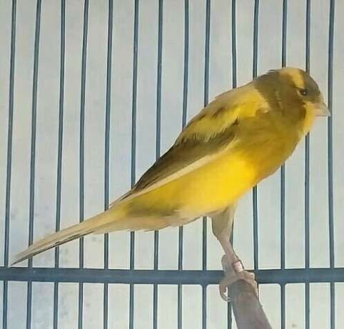 Burung kenari lokal jebolan 2x warna kuning frost t. Kenari Lokal Bond, Inilah Info Lengkapnya | Nama-Nama Hewan