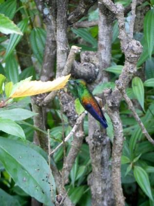 Hummingbird 1