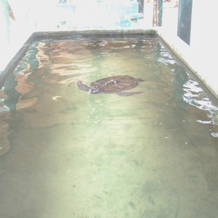 kosgoda turtle conservation, sri lanka