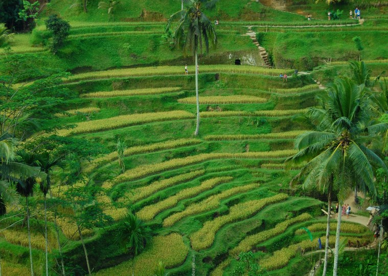 what's so special about Bali- Rice Terrace