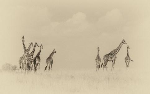 giraffes-family2