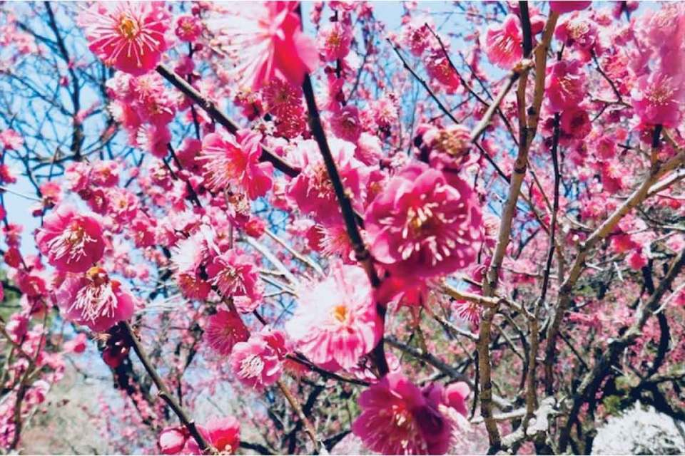 plum blossoms in tokyo