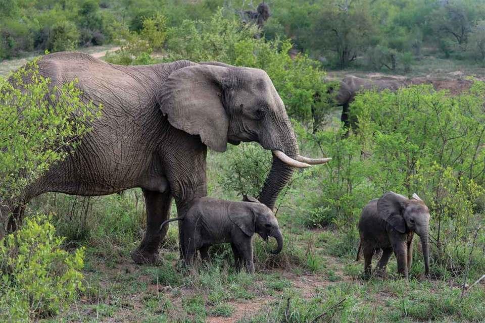 Londolozi elephant and baby elephants
