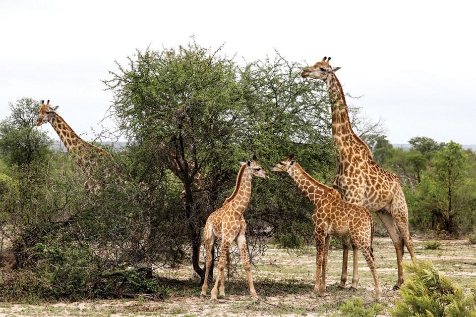 Londolozi giraffes