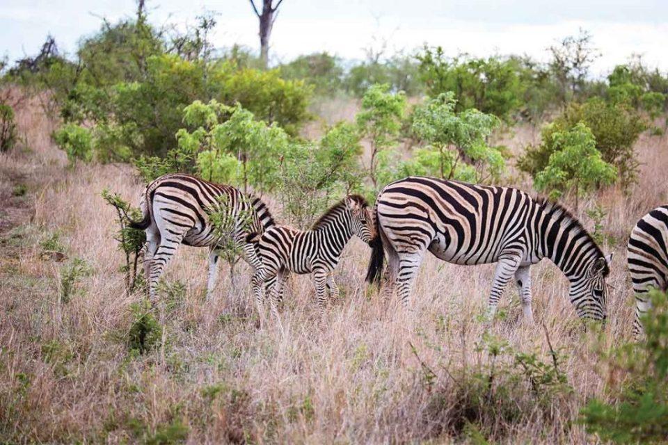 Londolozi zebras and baby zebra