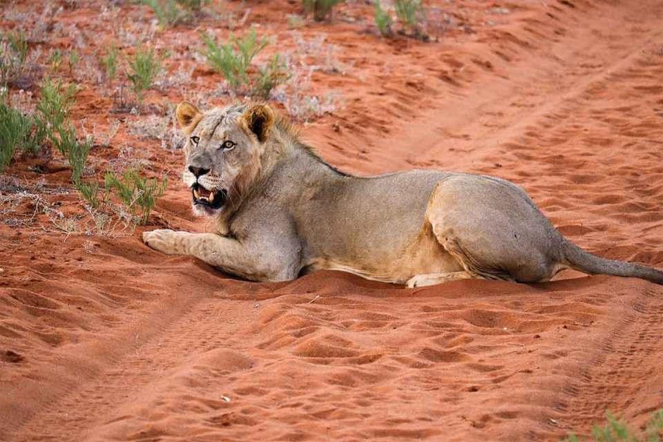 Tswalu Kalahari Female Lions