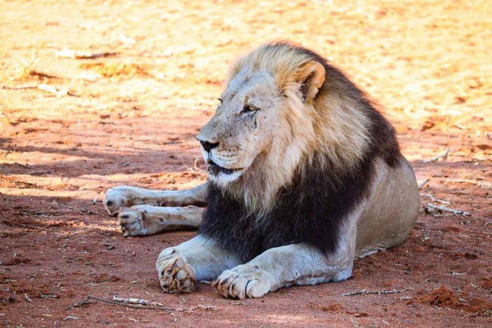 Tswalu Kalahari Male Lion up close
