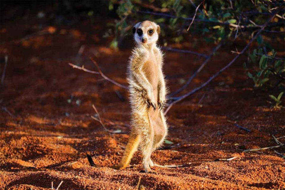 Tswalu Kalahari Meercats