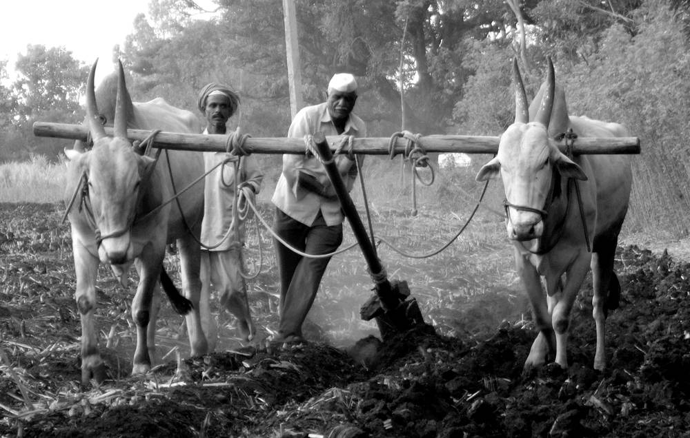 Ploughing a field in Satara district, Maharashtra