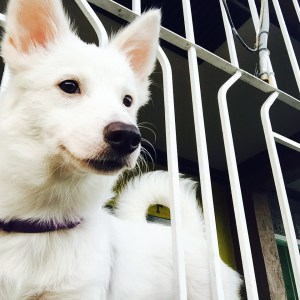 Sophie Belle:  Japanese Spitz x Terrier