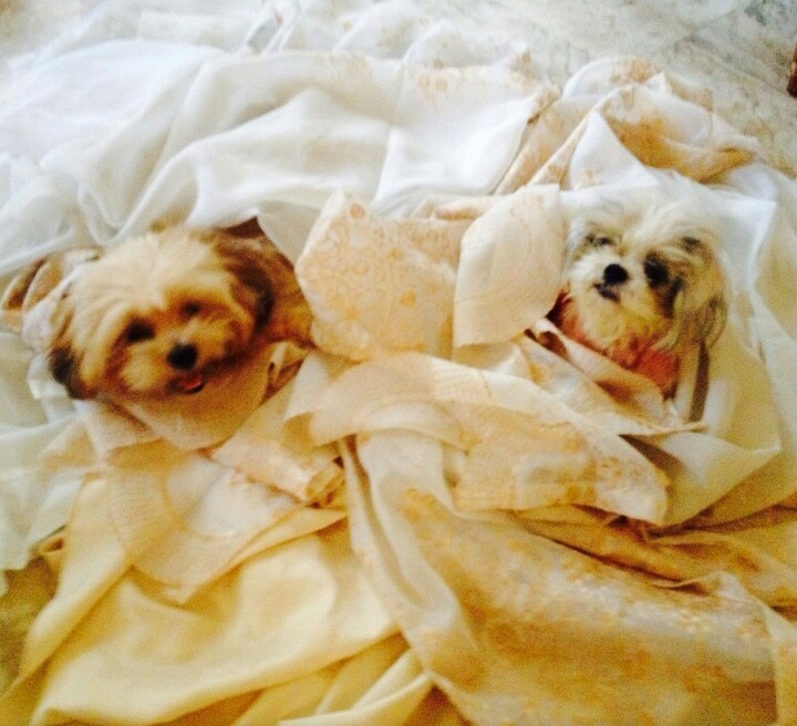 Maisie and Mochi: Shih Tzu and Lhasa Apso
