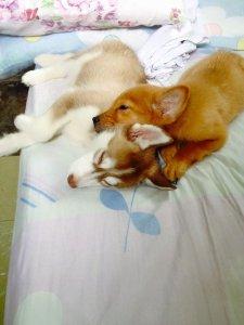 Popoy: Siberian Husky