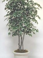 Varigated Ficus