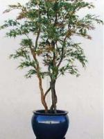 Japanese Style Maple Tree