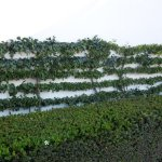 """""""Fill-in"""" exterior UV foliage that we added to an existing Espalier planting at an upscale Newport Beach, California residence."""