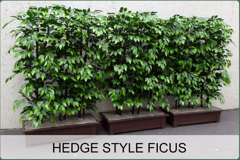 hedge style ficus