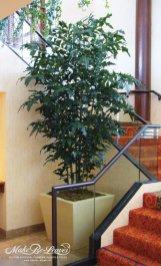 12ft-fishtail-palm-planting