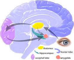 brain for fear response