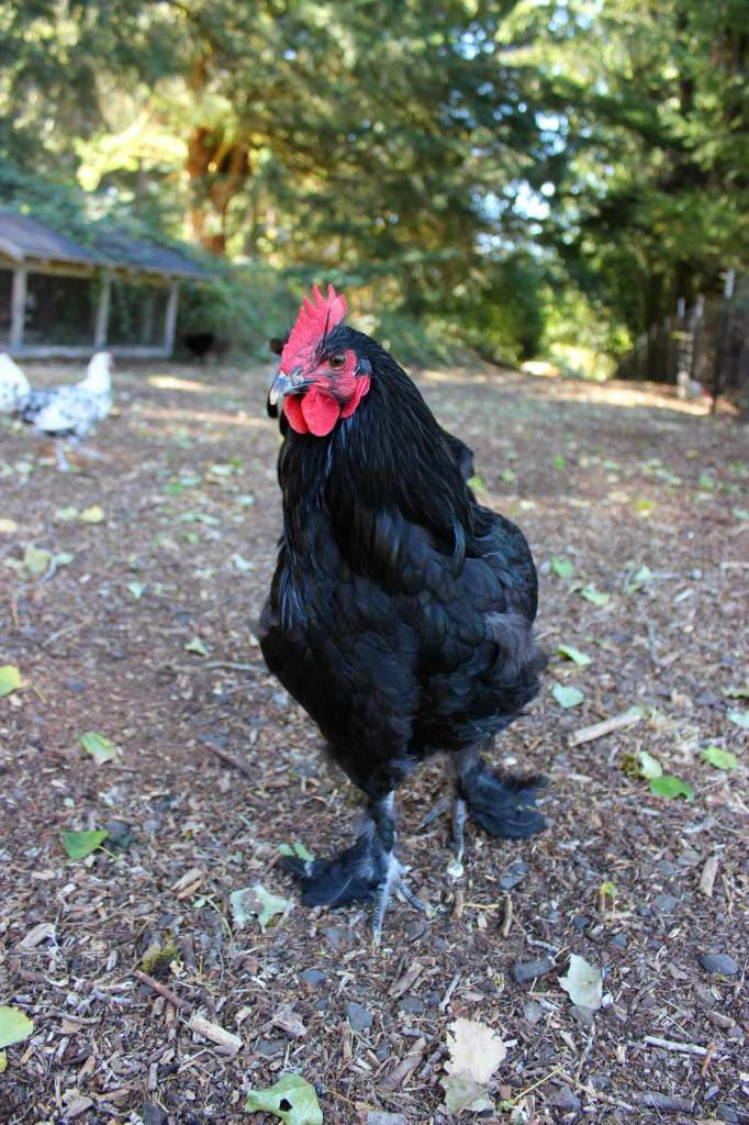Black Langshan Rooster