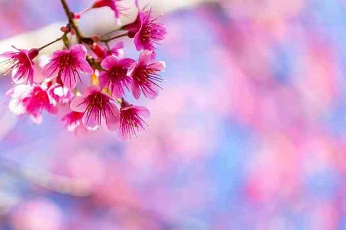 Λουλούδι Ροζ Θολό Φόντο