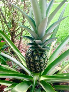 Pineapple Plant Photo by Jim Kemp