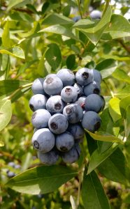 Louisiana Blueberry Bush