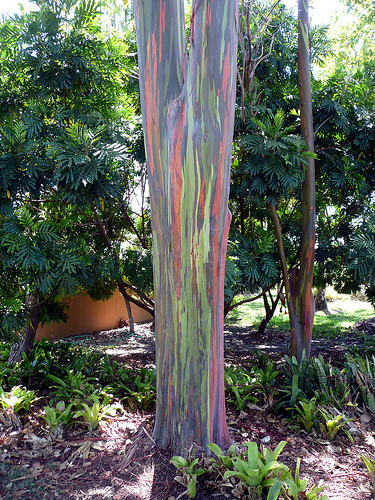 paint brush tree