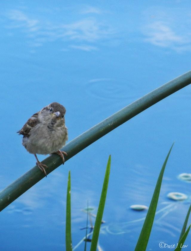sparrow- by David J. Lew- Earthquake Boy