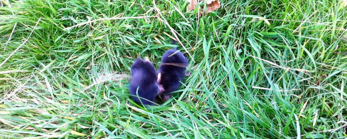 Day 65: Baby moles