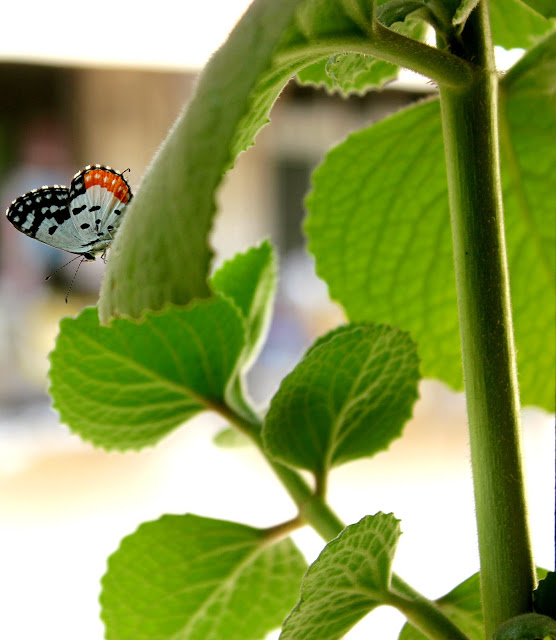 Butterfly In My Balcony: Rainy Season
