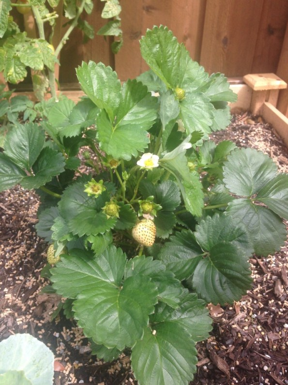 my strawberry plants, my first garden